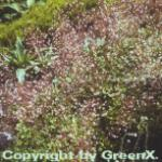 Porzellanblümchen - Saxifraga urbium