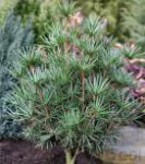 Japanische Schirmtanne Beauty Green 70-80cm - Sciadopitys verticillata