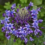 Amethyst Blaustern - Scilla litardierei