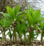 Krainer Tollkraut - Scopolia carniolica