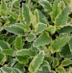 Braunwurz Variegata - Scrophularia auriculata