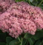 Prächtige Fetthenne Rosenteller - Sedum spectabile
