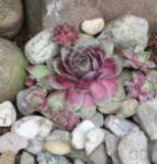 Dachwurz Fame Monstrose - Sempervivum cultorum