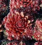 Dachwurz Palisander - Sempervivum cultorum
