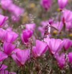 Prärie Malve Rosanna - Sidalcea malviflora