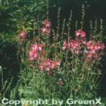 Prärie Malve Brilliant - Sidalcea oregana
