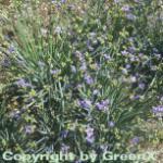 Blaue Binsenlilie - Sisyrinchium angustifolium