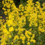 Goldrute Goldkind - Solidago
