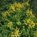 Gefleckte Goldrute Golden Fleece - Solidago sphacelata