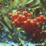 Mährische Eberesche 60-80cm - Sorbus aucuparia
