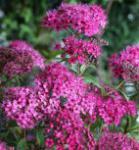 Rote Sommerspiere Dart´s Red 30-40cm - Spiraea bumalda