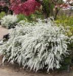 Weiße Rispenspiere 80-100cm - Spiraea cinerea