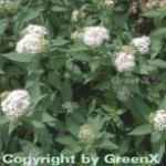 10x Weiße Zwergspiere 15-20cm