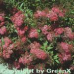 Roter Sommerspierstrauch Anthony Waterer 30-40cm - Spiraea japonica