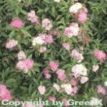 Zwergspiere Shirobana 60-80cm - Spiraea japonica
