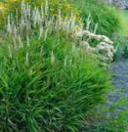 Zottengras West Lake - Spodiopogon sibiricus