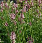 Heil Ziest Pinky - Stachys officinalis
