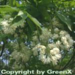 Kolchische Pimpernuss 100-125cm - Staphylea colchica