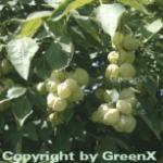 Gemeine Pimpernuss 60-80cm - Staphylea pinnata