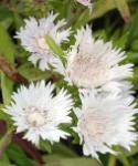 Kornblumenaster Träumerei - Stokesia laevis
