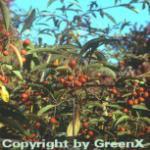 Funkenblatt 80-100cm - Stranvaesia davidiana
