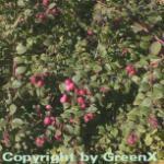 10x Niedrige Purpurbeere 20-30cm - Symphoricarpos chenaultii