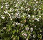 Kaukasus Beinwell Hidcote Pink - Symphytum grandiflorum