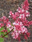 Hochstamm Edelflieder Red Pix 80-100cm - Syringa meyeri
