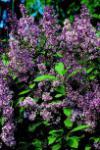 Edelflieder Minuet - Kircher-Collection 60-80cm - Syringa hyacinthiflora
