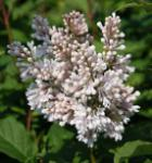 Edelflieder Miss USA - Kircher-Collection 30-40cm - Syringa hyacinthiflora