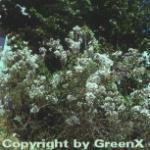 Weißer Persische Flieder 30-40cm - Syringa persica