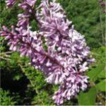 Kanadischer Flieder Royalty 40-60cm - Syringa prestoniae