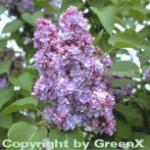 Edelflieder Michael Buchner 60-80cm - Syringa vulgaris