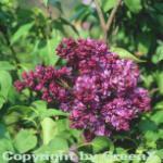 Hochstamm Edelflieder Mrs Eward Harding 60-80cm - Syringa vulgaris