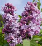 Edelflieder President Poincare - Kircher-Collection 100-125cm - Syringa vulgaris