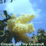 Edelflieder Primrose 60-80cm, der einzig gelbliche Flieder