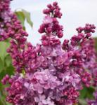 Hochstamm Edelflieder Prince Wolkonsky 80-100cm - Syringa vulgaris