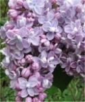 Edelflieder Président Grévy 60-80cm - Syringa vulgaris