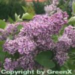 Hochstamm Edelflieder Sensation 100-125cm - Syringa vulgaris