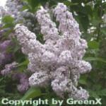 Wildflieder 60-80cm - Syringa vulgaris