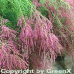 Sommertamariske 100-125cm - Tamarix ramosissima