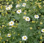 Graublättriges Gartenmutterkraut Jackpot - Tanacetum niveum