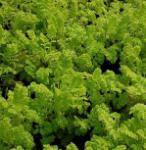 Wurmkraut Golden Fleece - Tanacetum vulgare