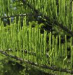 Hochstamm Aufsteigende Sumpfzypresse 60-80cm - Taxodium distichum