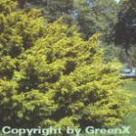 Goldgelbe Adlerschwingen Eibe 80-100cm - Taxus baccata Dovastoniana Aureovariegata
