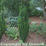 Säuleneibe 50-60cm - Taxus baccata Fastigiata Robusta