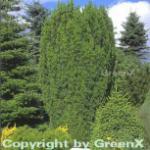 Grüne Säuleneibe 60-70cm - Taxus baccata Fastigiata