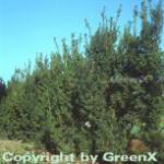 Bechereibe 60-70cm - Taxus media
