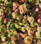 Falsche Allraunwurzel Purpurteppich - Tellima grandiflora
