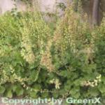 Falsche Allraunwurzel - Tellima grandiflora